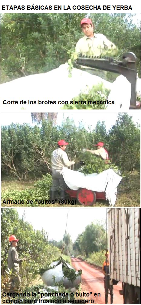 Cosecha y transporte de la yerba mate al secadero