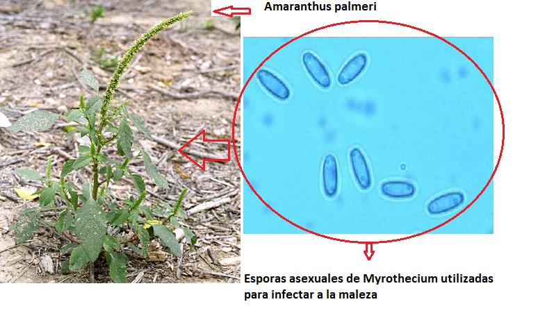 Amaranthus palmeri infectada por Myrothecium