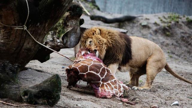 Sacrifican una jirafa beb sana en un zoo de dinamarca - Immagini di animali dello zoo per bambini ...