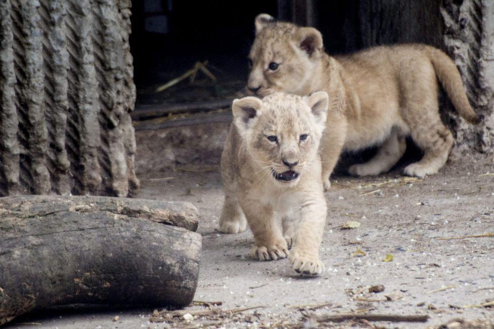 Dos cachorros de león en el zoo de Copenhague. EFE